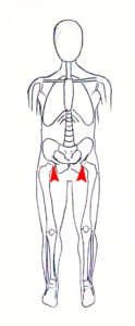 hanches genoux squelette