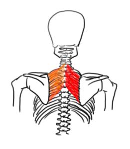Muscles rhomboïdes