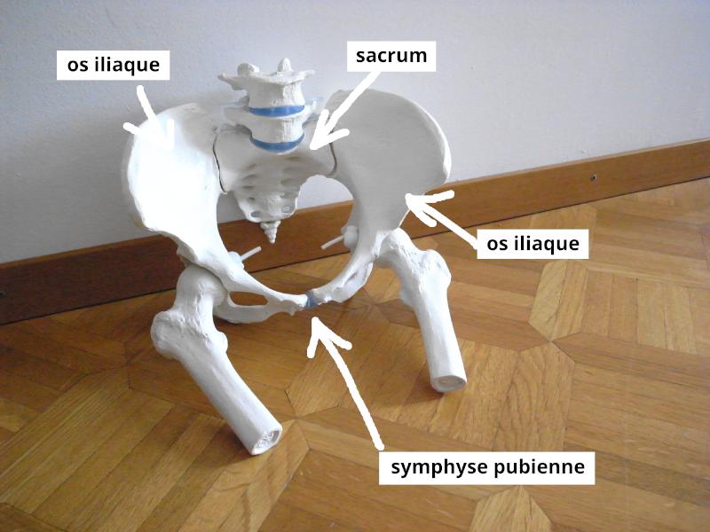 anatomie des os du bassin